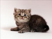 Продаются котята,  британцы: девочка и мальчик от достойных производите