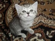 продаю красивых котят