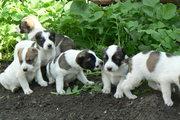 Продаются 6 щенков породы Туркменский Алабай.