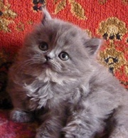 Котята - персы