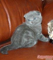 Продаются котята плюшевые британские и шотландские вислоухие.