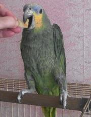 продам крупного шикарного попугая