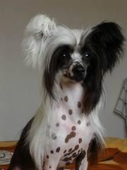 красивые щенки Китайчики