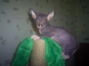 продажа котят сфинксов
